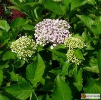 Hydrangea macrophylla 'Ayesha' -- Gartenhortensie 'Ayesha'