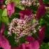 Hydrangea macrophylla 'Geoffrey Chadbund' -- Gartenhortensie 'Geoffrey Chadbund'