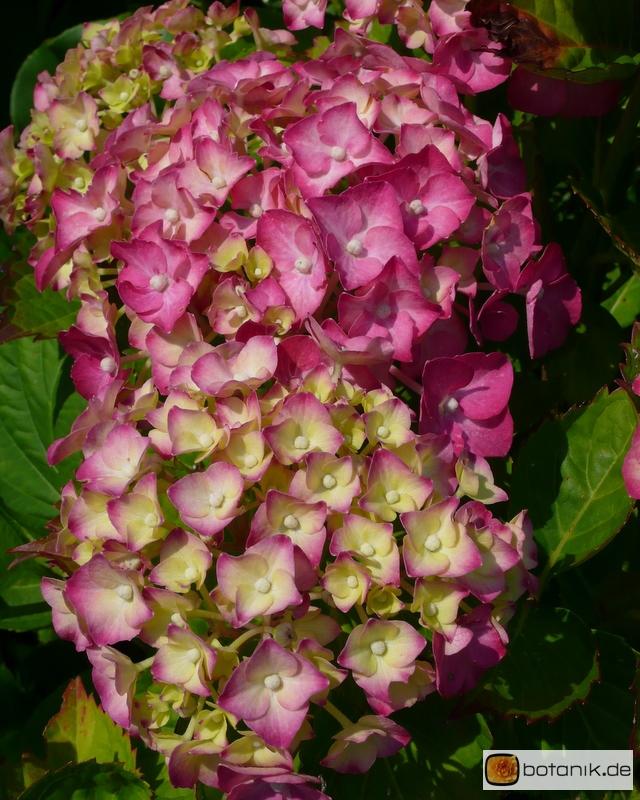 Hydrangea macrophylla 'Seidel Heinrich' -- Gartenhortensie 'Seidel Heinrich'