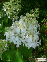 Hydrangea paniculata 'Dolly' -- Rispen-Hortensie 'Dolly'