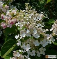 Hydrangea paniculata 'Pink Diamond' -- Rispen-Hortensie 'Pink Diamond'