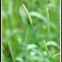 Triticum compactum -- Igelweizen