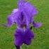 Iris Barbata elatior 'Alcee' -- Hohe Bart-Iris