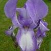 Iris Barbata elatior 'Argus Pheasant' -- Hohe Bart-Iris