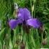 Iris Barbata elatior 'Berliner Blau' -- Hohe Bart-Iris