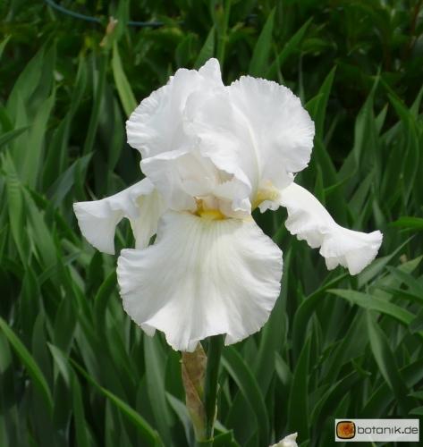 Iris Barbata elatior 'Berthalda' -- Hohe Bart-Iris