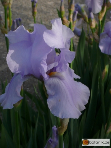 Iris Barbata elatior 'Blue Sapphire' -- Hohe Bart-Iris