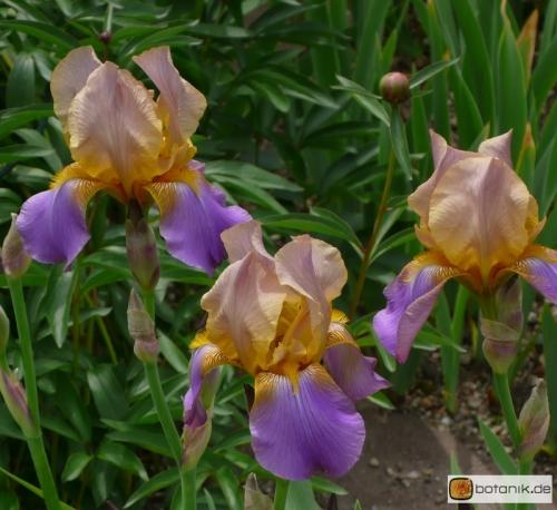 Iris Barbata elatior 'Crepuscule' -- Hohe Bart-Iris