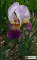Iris Barbata elatior 'Folkwang' -- Hohe Bart-Iris
