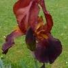 Iris Barbata elatior 'Ginger' -- Hohe Bart-Iris