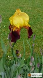 Iris Barbata elatior 'Jane Phillips' -- Hohe Bart-Iris
