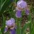 Iris Barbata elatior Lady Phyllis -- Hohe Bart-Iris