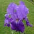 Iris Barbata elatior 'Mary Mc Clellan' -- Hohe Bart-Iris