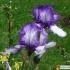 Iris Barbata elatior 'Masetto' -- Hohe Bart-Iris