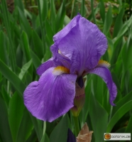 Iris Barbata elatior 'Pale Moonlight' -- Hohe Bart-Iris
