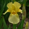 Iris Barbata elatior 'Phebus' -- Hohe Bart-Iris