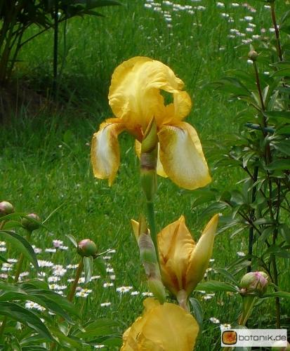 Iris Barbata elatior Rapsodie -- Hohe Bart-Iris