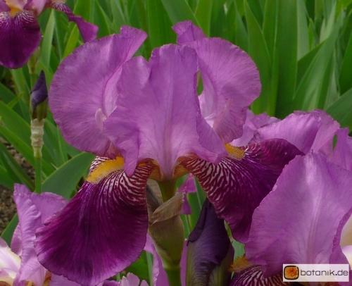 Iris Barbata elatior Rota -- Hohe Bart-Iris