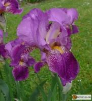 Iris Barbata elatior 'Rota' -- Hohe Bart-Iris
