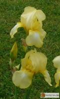 Iris  Barbata elatior 'Snoqualmie' -- Hohe Bart-Iris