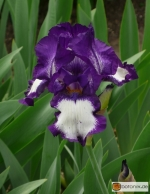 Iris Barbata elatior Stepping out -- Hohe Bart-Iris