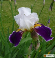 Iris Barbata elatior 'Wabash' -- Hohe Bart-Iris