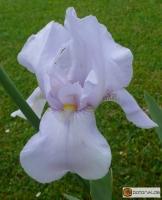 Iris  Barbata elatior White City -- Hohe Bart-Iris