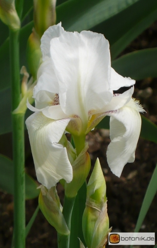 Iris  Barbata elatior 'White knight' -- Hohe Bart-Iris
