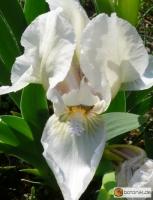 Iris albicans -- weisse Fahnen-Iris