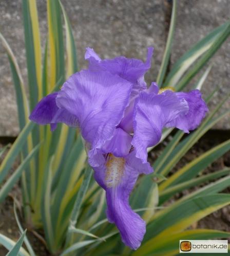 Iris pallida 'Variegata' -- Bleiche Schwertlilie 'Variegata'
