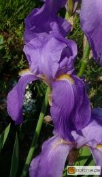 Iris pallida 'cengialti' -- Bleiche Schwertlilie