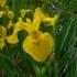 Iris pseudacorus -- Sumpf-Schwertlilie