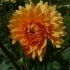 Kaktus Dahlie 'Ludwig Helfert'
