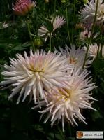 Kaktus-Dahlie-Stars-Lady