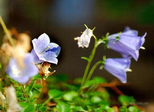 Campanula cochlearifolia -- Kleine Glockenblume