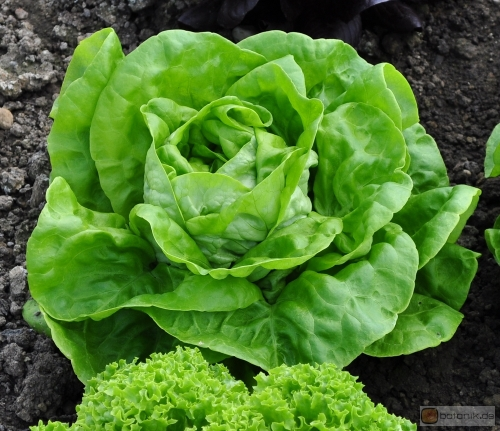 Lactuca sativa -- Kopfsalat