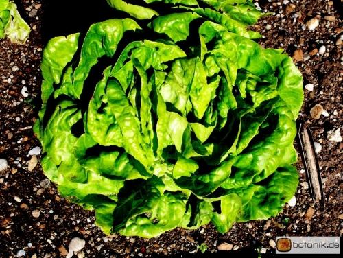 Lactuca sativa 'capitata' -- Kopfsalat