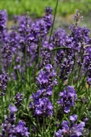 Lavandula angustifolia 'Essence Purple' -- Lavendel