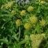 Levisticum officinale -- Liebstöckel