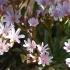 Lewisia cotyledon -- Gewöhnliche Bitterwurz