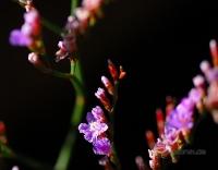 Limonium bellidifolium -- gänseblümchenblättriger Strandflieder