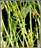 Brassica rapa var. nipposinica -- Mizuna Salat