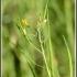 Brassica rapa 'nipposinica' -- Mizuna