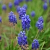 Muscari aucheri 'Blue Magic' -- Aucher-Traubenhyazinthe