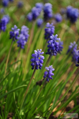 Muscari aucheri 'Dark Eye' -- Aucher-Traubenhyazinthe