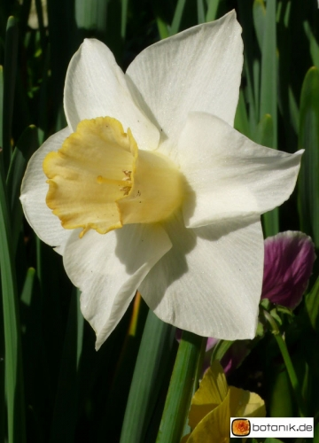 Narcissus Hybride Salome -- Narzisse