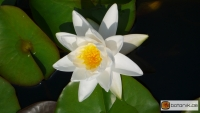 Nymphaea Gladstoniana