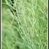 Brassica rapa ssp oleifera -- Ölrübse
