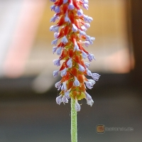 Primula vialli -- Orchideenprimel