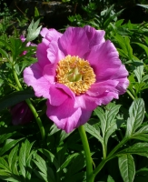 Paeonia veitchii 'woodwardii' -- Woodwards Pfingstrose